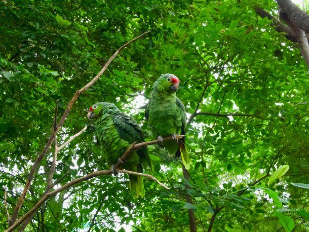 amazona papige