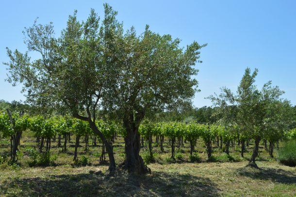 vinogradi vinarija rossi