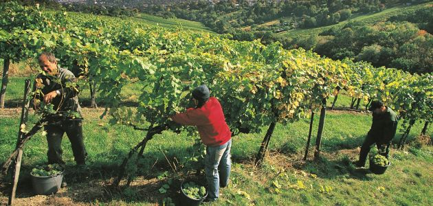 Stotine hektara vinograda čine Beč jedinstvenim u svijetu