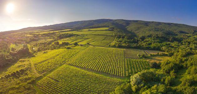 kutjevo-vinogradi