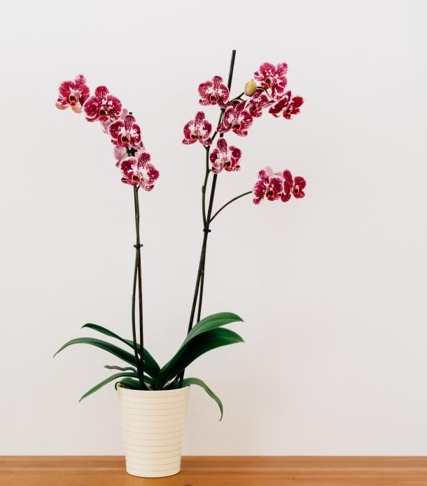 orhideja orhideje dom