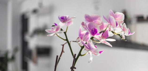 orhideje orhideja kupnja