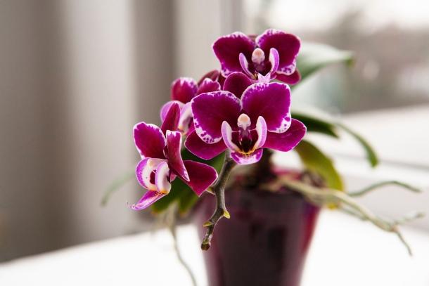 orhideje orhideja