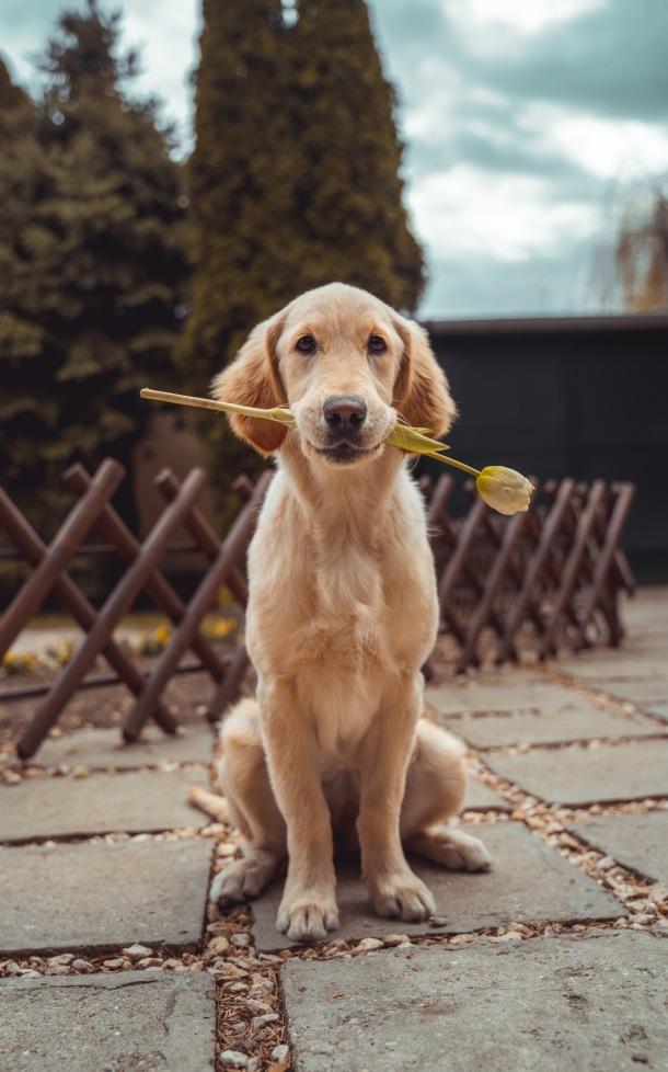 korona virus pas ljubimac