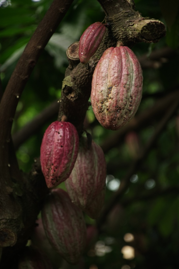 kakao juzna azija