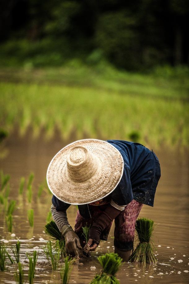 tajland rizina polja