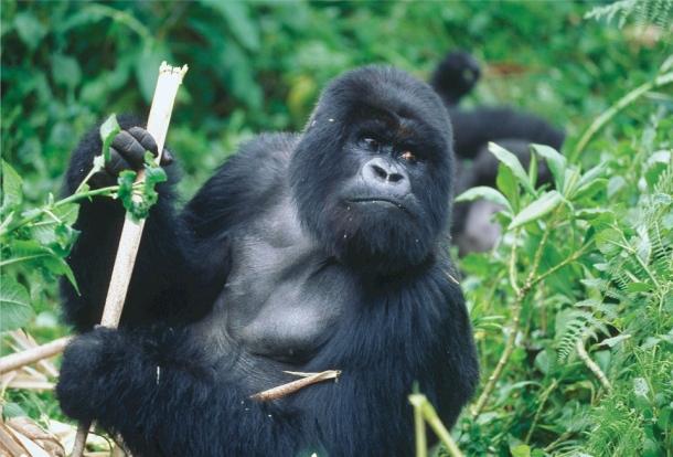 gorila nacionalni park ruande