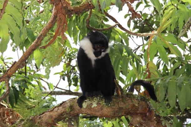 majmun ruanda foto diana miklos