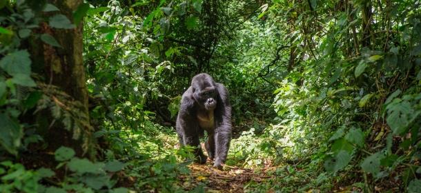 prasuma ruanda planine gorila