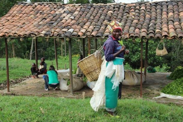 ruanda zeleni caj diana miklos foto