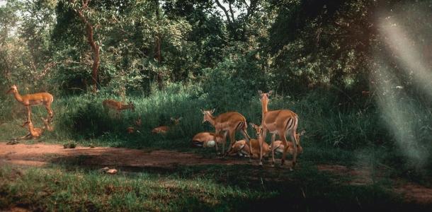 zivotinje nacionalni park ruanda