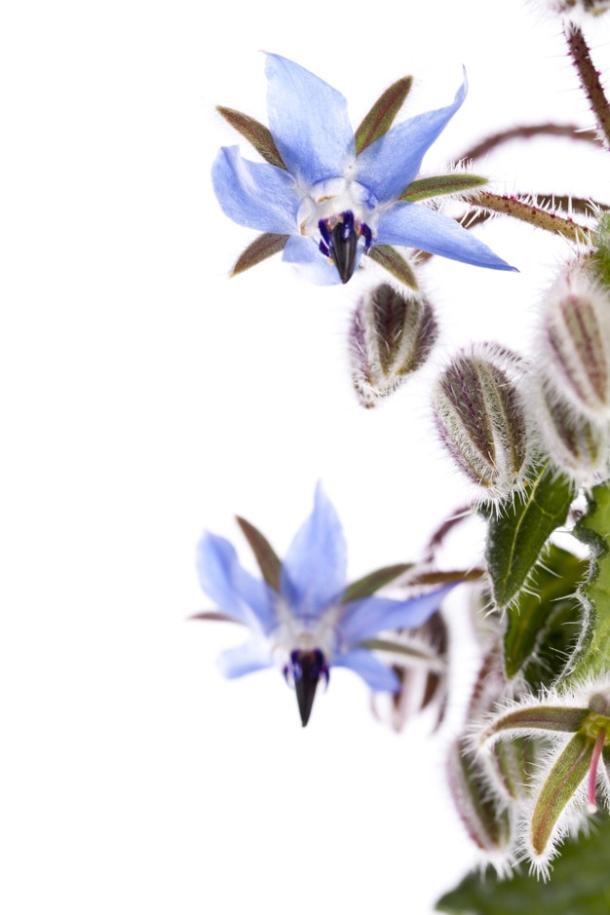 cvijet borac Borago officinalis