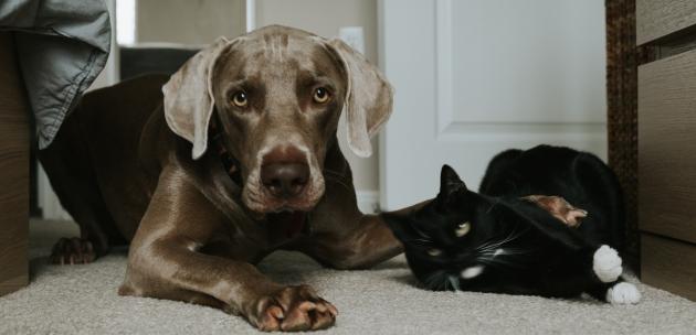 Tko je pobjedio pas ili mačka kao kućni ljubimac?