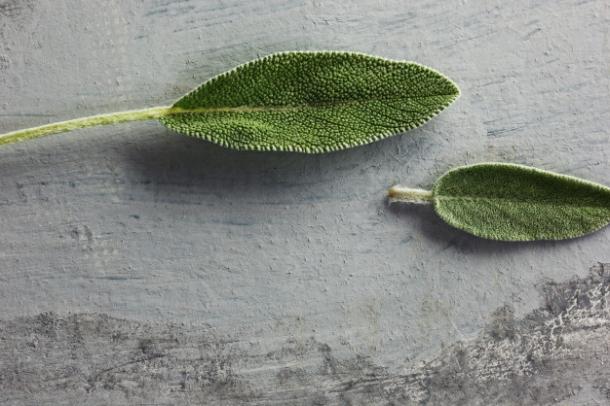 kadulja Salvia officinalis