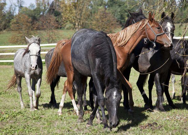 konji-pasa-krdo