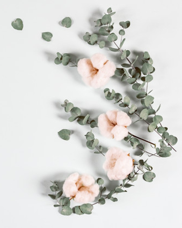 vrtni sljez Alcea rosea