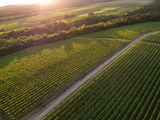 Vinogradarski položaj Vetovo kutjevo vina