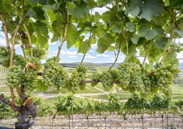 vinogradi sorta silvanac Würzburg