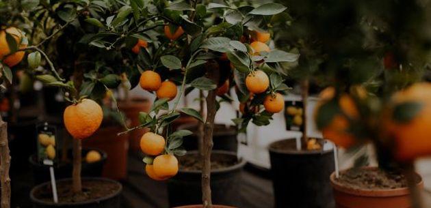 sadnja mandarine mandarina