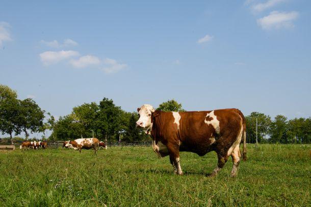 krava bivol