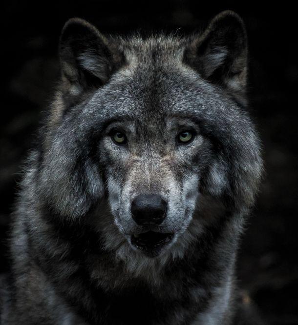 kanadski vuk
