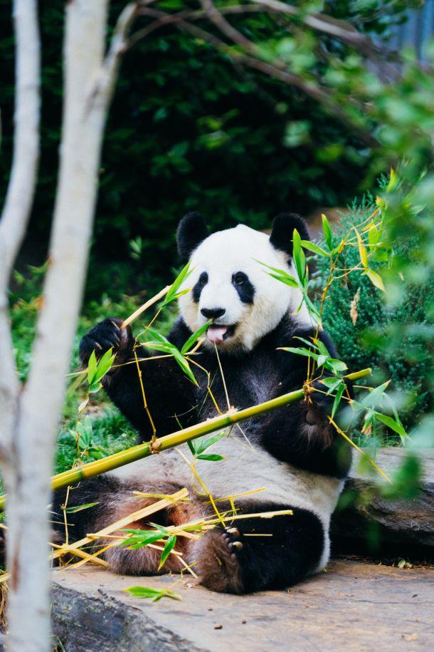 medvjed panda