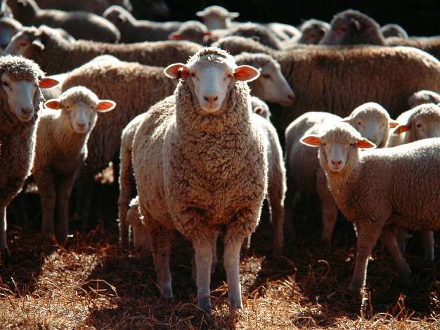 ovce janjad