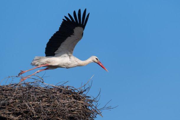 ptica roda