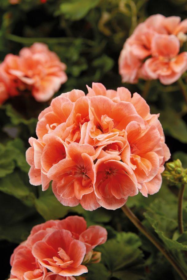 2021 ukrasno cvijece pelargonije