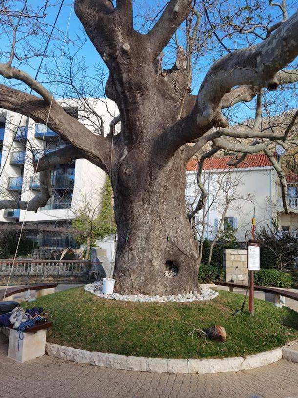 staro stablo drvo