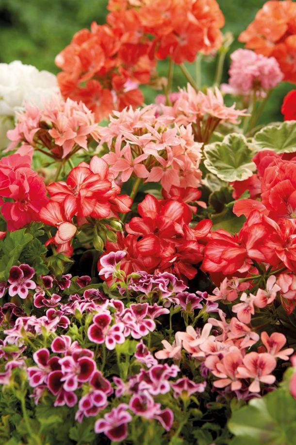 ukrasno cvijece 2021 Pelargonije