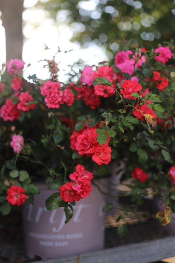 ukrasno cvijece  pelargonije zeravak muškatla i điran