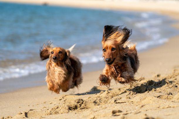 psi na plazi za pse